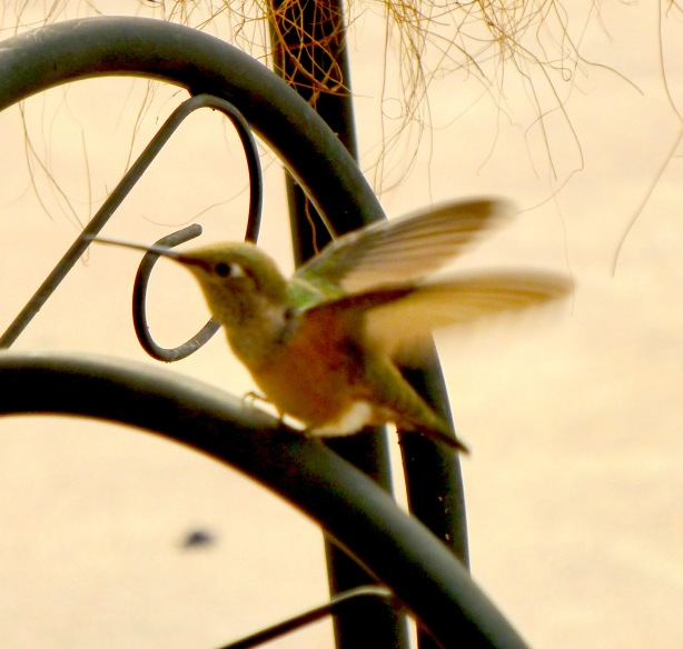 Hummingbird_001